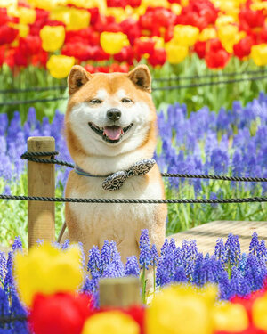 Shibas in the Park photo